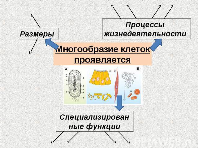 Размеры Процессы жизнедеятельности Многообразие клетокпроявляется Специализированные функции