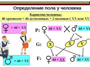 Определение пола у человека Кариотип человека: 46 хромосом = 44 аутосомных + 2 п