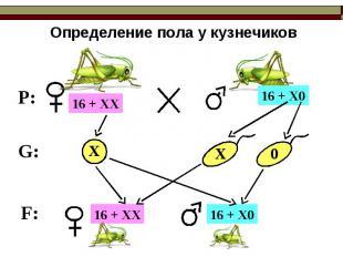 Определение пола у кузнечиков 16 + ХХ 16 + Х0 16 + ХХ 16 + Х0