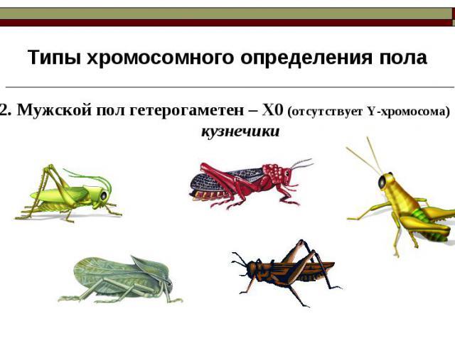 Типы хромосомного определения пола 2. Мужской пол гетерогаметен – Х0 (отсутствует Y-хромосома)кузнечики