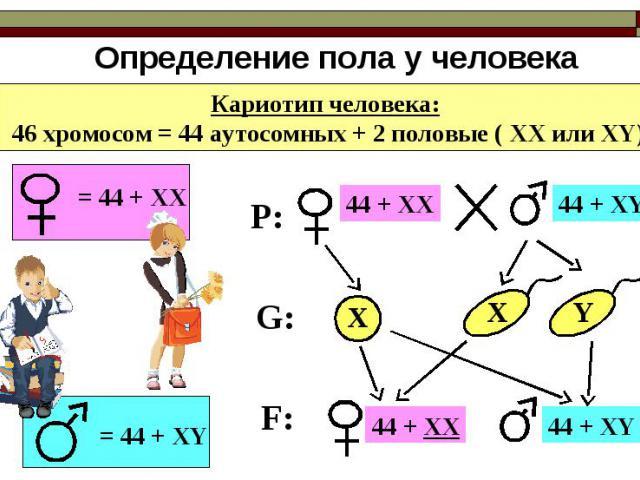 Определение пола у человека Кариотип человека: 46 хромосом = 44 аутосомных + 2 половые ( ХХ или ХY) = 44 + ХХ = 44 + ХY