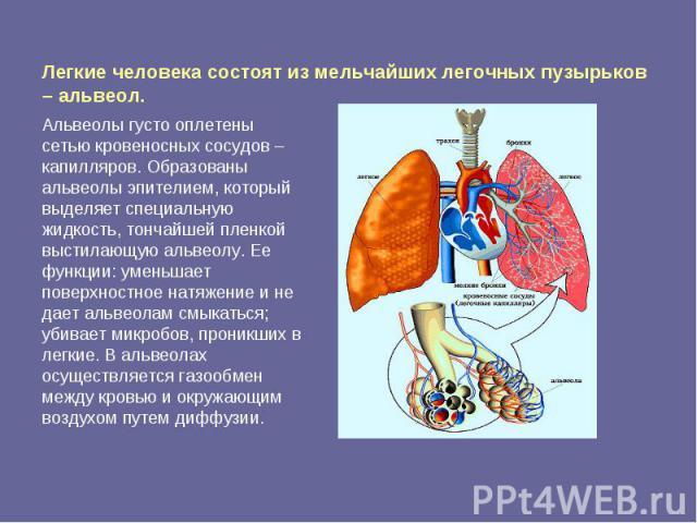 Легкие человека состоят из мельчайших легочных пузырьков – альвеол. Альвеолы густо оплетены сетью кровеносных сосудов – капилляров. Образованы альвеолы эпителием, который выделяет специальную жидкость, тончайшей пленкой выстилающую альвеолу. Ее функ…