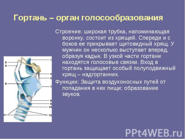 Гортань – орган голосообразования Строение: широкая трубка, напоминающая воронку, состоит из хрящей. Спереди и с боков ее прикрывает щитовидный хрящ. У мужчин он несколько выступает вперед, образуя кадык. В узкой части гортани находятся голосовые св…