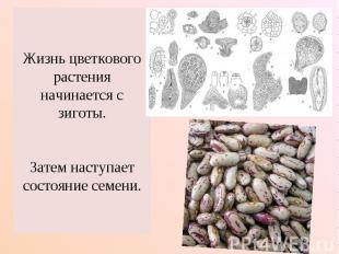 Жизнь цветкового растения начинается с зиготы.Затем наступает состояние семени.