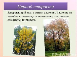 Период старости Завершающий этап в жизни растения. Растение не способно к полово