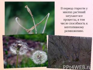 В период старости у многих растений затухают все процессы, в том числе способнос