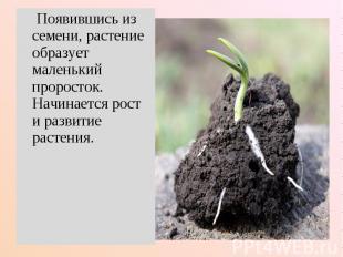 Появившись из семени, растение образует маленький проросток. Начинается рост и р