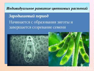 Индивидуальное развитие цветковых растений Зародышевый период Начинается с образ