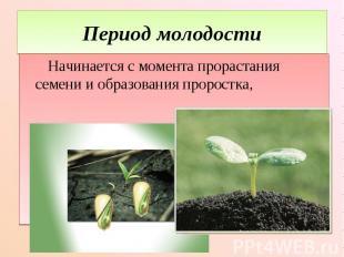 Период молодости Начинается с момента прорастания семени и образования проростка
