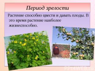 Период зрелости Растение способно цвести и давать плоды. В это время растение на