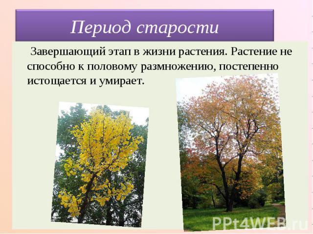 Период старости Завершающий этап в жизни растения. Растение не способно к половому размножению, постепенно истощается и умирает.