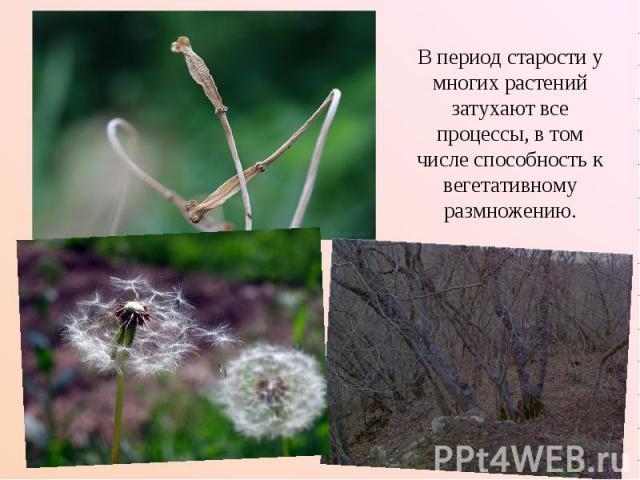 В период старости у многих растений затухают все процессы, в том числе способность к вегетативному размножению.