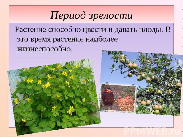Период зрелости Растение способно цвести и давать плоды. В это время растение наиболее жизнеспособно.