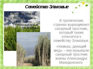 Семейство ЗлаковыеВ тропических странах выращивают сахарный тростник, который та