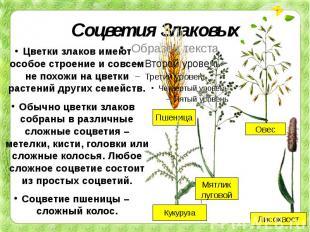 Соцветия Злаковых Цветки злаков имеют особое строение и совсем не похожи на цвет