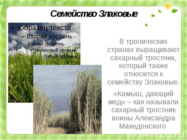 Семейство ЗлаковыеВ тропических странах выращивают сахарный тростник, который также относится к семейству Злаковые. «Камыш, дающий мед» – как называли сахарный тростник воины Александра Македонского