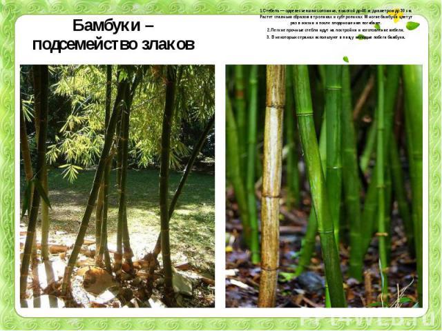 Бамбуки – подсемейство злаков 1.Стебель — одревесневшая соломина, высотой до 40 м, диаметром до 30 см. Растет главным образом в тропиках и субтропиках. Многие бамбуки цветут раз в жизни и после плодоношения погибают.2.Легкие прочные стебли идут на п…