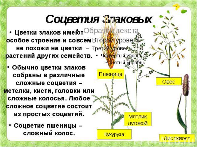 Соцветия Злаковых Цветки злаков имеют особое строение и совсем не похожи на цветки растений других семейств.Обычно цветки злаков собраны в различные сложные соцветия – метелки, кисти, головки или сложные колосья. Любое сложное соцветие состоит из пр…