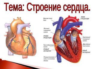 Тема: Строение сердца.