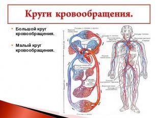 Круги кровообращения. Большой круг кровообращения.Малый круг кровообращения.