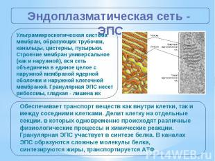 Эндоплазматическая сеть - ЭПС Ультрамикроскопическая система мембран, образующих