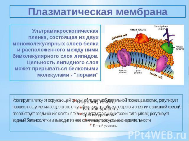 Плазматическая мембрана Ультрамикроскопическая пленка, состоящая из двух мономолекулярных слоев белка и расположенного между ними бимолекулярного слоя липидов. Цельность липидного слоя может прерываться белковыми молекулами -