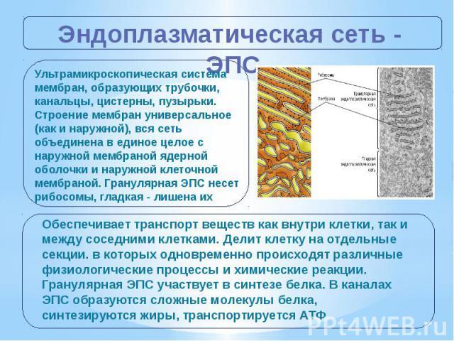 Эндоплазматическая сеть - ЭПС Ультрамикроскопическая система мембран, образующих трубочки, канальцы, цистерны, пузырьки. Строение мембран универсальное (как и наружной), вся сеть объединена в единое целое с наружной мембраной ядерной оболочки и нару…
