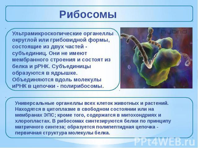Рибосомы Ультрамикроскопические органеллы округлой или грибовидной формы, состоящие из двух частeй - субъединиц. Они не имеют мембранного строения и состоят из белка и рРНК. Субъединицы образуются в ядрышке. Объединяются вдоль молекулы иРНК в цепочк…