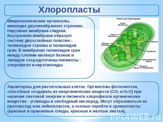Хлоропласты Микроскопические органеллы, имеющие двухмембранное строение. Наружная мембрана гладкая. Внутренняя мембрана образует систему двухслойных пластин - тилакоидов стромы и тилакоидов гран. В мембранах тилакоидов гран между слоями молекул белк…