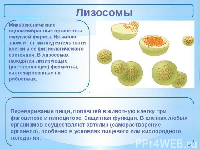 Лизосомы Микроскопические одномембранные органеллы округлой формы. Их число зависит от жизнедеятельности клетки и ее физиологического состояния. В лизосомах находятся лизирующие (растворяющие) ферменты, синтезированные на рибосомах. Переваривание пи…
