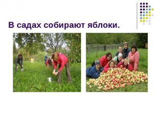 В садах собирают яблоки.