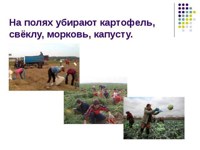 На полях убирают картофель, свёклу, морковь, капусту.