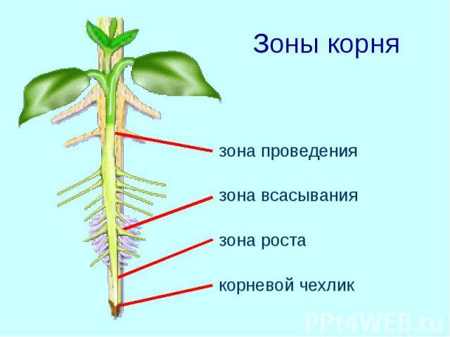 Зоны корня зона проведения зона всасывания зона роста корневой чехлик
