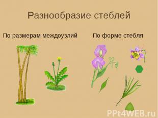 Разнообразие стеблей По размерам междоузлий По форме стебля