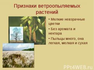 Признаки ветроопыляемых растений Мелкие невзрачные цветки Без аромата и нектара