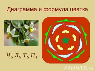 Диаграмма и формула цветка