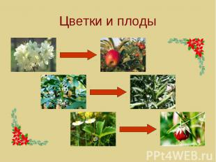 Цветки и плоды