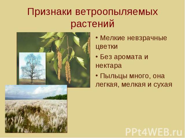 Признаки ветроопыляемых растений Мелкие невзрачные цветки Без аромата и нектара Пыльцы много, она легкая, мелкая и сухая