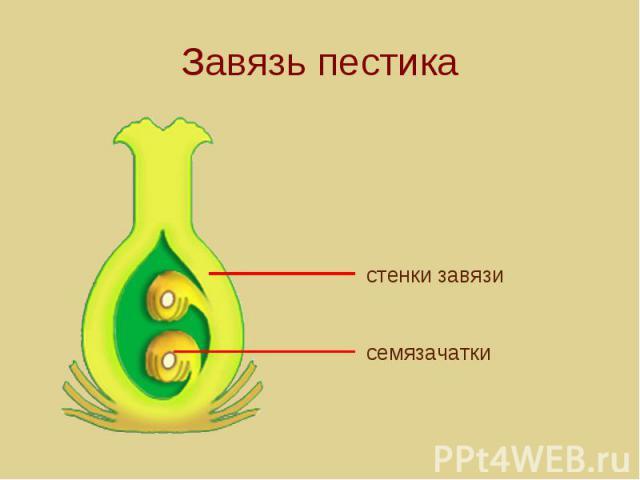 Завязь пестика