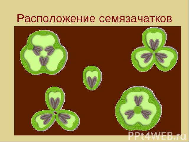 Расположение семязачатков