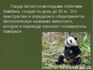 Панда питается молодыми побегами бамбука, съедая за день до 30 кг. Это пристраст