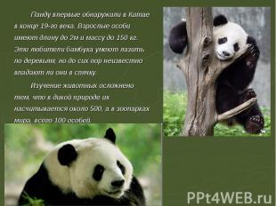 Панду впервые обнаружили в Китае в конце 19-го века. Взрослые особи имеют длину