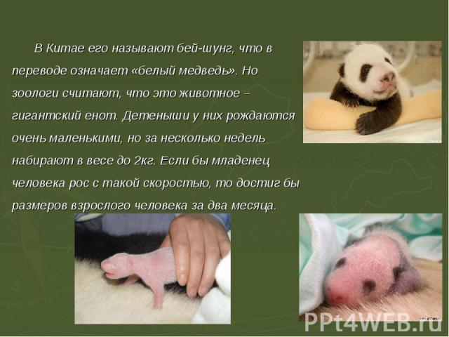 В Китае его называют бей-шунг, что в переводе означает «белый медведь». Но зоологи считают, что это животное – гигантский енот. Детеныши у них рождаются очень маленькими, но за несколько недель набирают в весе до 2кг. Если бы младенец человека рос с…
