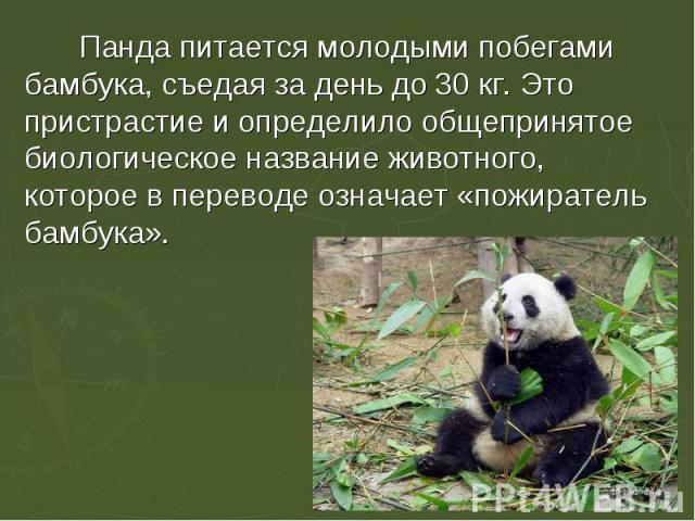 Панда питается молодыми побегами бамбука, съедая за день до 30 кг. Это пристрастие и определило общепринятое биологическое название животного, которое в переводе означает «пожиратель бамбука».