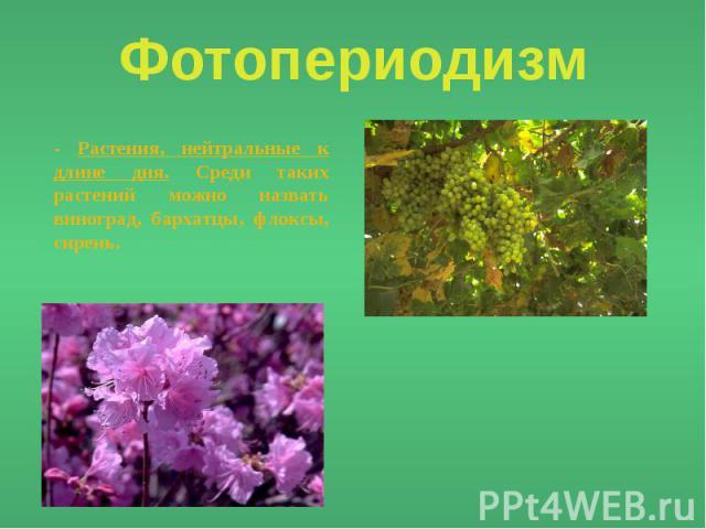 Фотопериодизм - Растения, нейтральные к длине дня. Среди таких растений можно назвать виноград, бархатцы, флоксы, сирень.