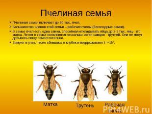 Пчелиная семья Пчелиная семья включает до 80 тыс. пчел.Большинство членов этой с