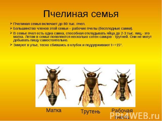 Пчелиная семья Пчелиная семья включает до 80 тыс. пчел.Большинство членов этой семьи – рабочие пчелы (бесплодные самки).В семье пчел есть одна самка, способная откладывать яйца до 2-3 тыс. яиц,- это матка. Летом в семье появляются несколько сотен са…