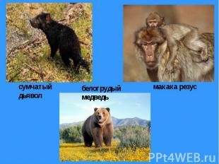 сумчатый дьявол белогрудый медведь макака резус