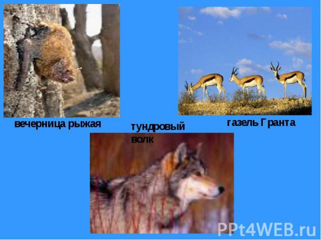 вечерница рыжая тундровый волк газель Гранта