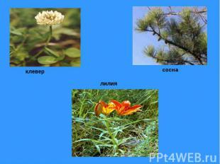 клевер лилия сосна